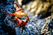 Sally Lightfoot Crab Attack